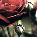 Příběhová růže