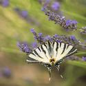 Levandulová motýlovka