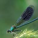motýlice obecná - kluk
