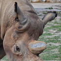 Nosorožec útočí