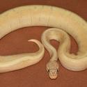 Python regius- Banana Pinstripe
