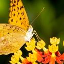 Motýlová