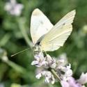 Sosáček v nektaru