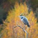 Podzimní volavka