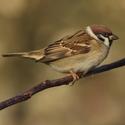 Vrabec polní