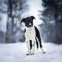 Crusader from Lovelenia -  border collie