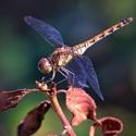 Vážka rumělková