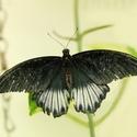 Papilio rumanzovia--sameček
