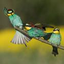 vlhy pestré        (Merops apiaster)
