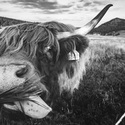 Mlsná kráva