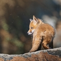 Fox Age