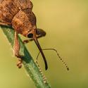 Nosatec lískový (Curculio nucum)