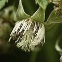 Kvetoucí ostružiní