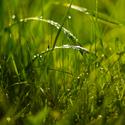 Rosa v trávě