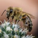 Ještě jedna včelka.