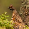 Jeřábek lesní