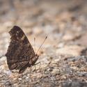 Motýl Emanuel na cestě