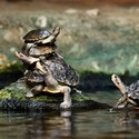 Želví akrobatická show