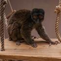 Lemur Běloocasý