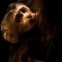 opička Mandril