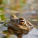 Žabí pozorovatel