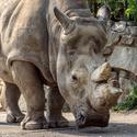 Nosorožec Zoo Ústí