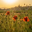 Západ slunce nad makovým polem