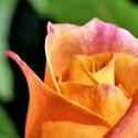 První květ růže