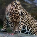 Jaguár americký - Panthera onca