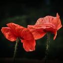 Dva makové květy
