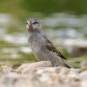 Vrabčák junior