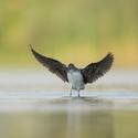 Vodouš kropenatý (Tringa ochropus)