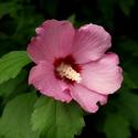 Ibištek ružový