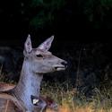 Něco slyším (jelen bucharský)