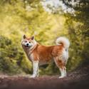 Akita v lese