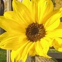 ... slunečnicová ...