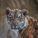 Tygří slečna