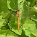 Vážka rumělková - samička - Sympetrum depressiusculum
