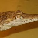 Z holešovické krokodýlí zoo