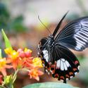 Filipínský motýl