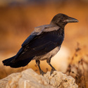 Vrána šedivka