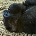 Gorila nížina