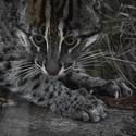 Kočka rybářská