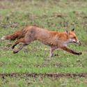 Běží liška k ......