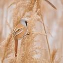 sýkořice vousatá (sameček)