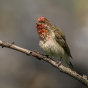 Hýl rudý- sameček