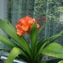 Malý obrazový atlas rostlin: Řemenatka červená