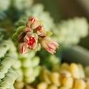 Sedum burrito - květ