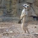 Velký šéf surikat pražské zoo