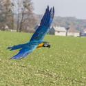 Ara ararauna v letu